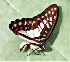 Lot of 2 Sulawesi Meyer's Triangle Graphium meyeri Male Folded FAST FROM USA