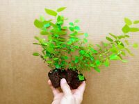 Blueberry Starter Plant ~ EMERALD... Price includes 4 plants free shipping