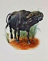 Impression Affiche Histoire Naturelle le Buffle de Cafrerie Bubalus Caffer