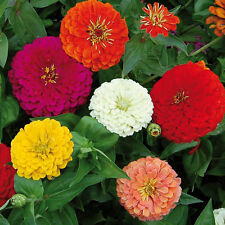 Benary's Giant Zinnia Flower Seed 1 Packet 100 Seeds 2017