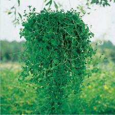 20 pcs Pennyroyal (Mentha Pulegium) vanilla seeds