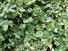 Creeping Fig Ficus pumila 1000 Plants 3 1/2 inch Pots Free Shipping
