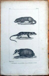 Badger & Otter 1830s French Animal Print - Blaireau, Loutre de la Guyane