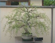 Bonsai Dragon Willow Tree - Large Thick Trunk Root Stock Cutting - One Live Tree