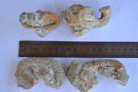 4 HETEROMORPH  FOSSIL AMMONITE BARREMAIN AGE MOROCCO ANCYLOCERAS