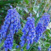 Hyacinthus Orientalis Hyacinth Flower Seeds  80 SEEDS --BUY 4 ITEMS FREE SHIP