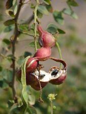 🌱 10 GRAINES DE MANILA TAMARIND (Pithecellobium dulce) SEEDS SAMEN SEMILLAS