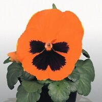 Pansy Seeds Character Orange With Face 50 FLOWER SEEDS