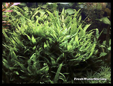 Live Aquarium Plants  / Microsorum Pteropus Narrow Leaf / Java Fern / Very easy