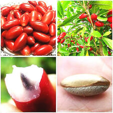 RARE Fruit seeds MIRACLE FRUIT Seeds Synsepalum dulcificum tropical exotic berry