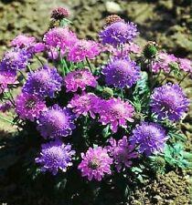 """SCABIOSA COLUMBARIA """"MISTY BUTTERFLIES"""", DWARF PINCUSHION FLOWER 30 seeds"""