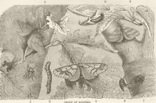 LEPIDOPTERA. Group of loopers 1896 old antique vintage print picture