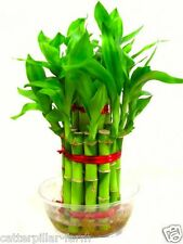 Lucky Bamboo Seeds For Home Garden, 50 Fresh Seeds, Free shipping, Quality Seeds