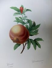 LITH0GRAPH [ 1] FRUITS & FLOWERS BY P.J.REDOU 1st ED 1955 POMEGRANATE