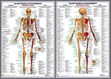 MAJOR MUSCLE ATTACHMENTS Anatomy Professional Fitness Wall Charts Poster Set