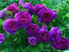 15 Pcs Purple Climbing Rose Flower Seeds Imported Good seeds Beautiful Garden