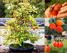 "SEEDS – Dwarf Persimmon ""Saijo"" Heavy Bearing Ornamental Bonsai Fruit Tree"