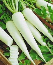 Rare Seeds White Radish Snow White Ukraine Heirloom Vegetable Seeds