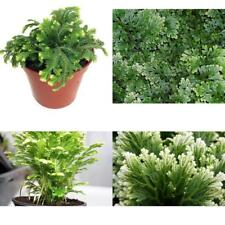 "Frosty Fern Spike Moss Exotic Plant Selaginella Easy to Grow 2.5"" Pot Indoor New"
