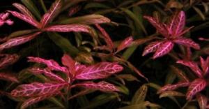 3 BEAUTIFUL TROPICAL HYGROPHILA ROSANERVIG HEALTHY AQUARIUM PLANTS AQUATIC LIVE