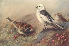 BRITISH BIRDS: Lapland Bunting; Snow-Bunting. THORBURN; vintage print 1925