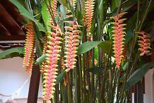 5 Samen Heliconia ROSTRATA MIX Blume Gelb / Blume Orange