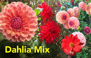 Dahlia tubers x 5. Stunning lucky dip mix. not for wa, tas or nt
