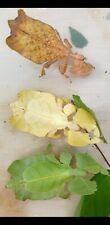 RARE Phyllium pulchrifolium eggs x30 Leaf stick Insect/phasmids/Phasmiden/fasmid