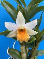 Dendrobium Frosty Dawn 4 Inch Basket Bloom Size (15)