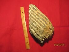 PRE 1900, HUGE FOSSIL MAMMOTH TOOTH FROM VENICE BEACH FLORIDA