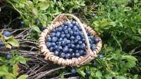 ** Die Heidelbeeren ein beliebtes Obst für Kuchen und Marmelade - Obstsamen.