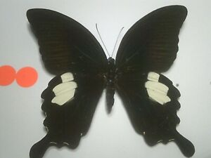 Real Insect/Butterfly/Moth Set Spread B7738 V/Large Papilio sataspes sataspes