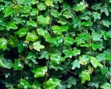 Ficus Pumila 'Quercifolia' - Oak Leaf Creeping Fig - 5 cuttings