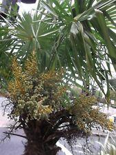 Trachycarpus fortunei-Windmill Palm 50 graines-UK Hardy Evergreen