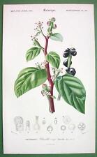 CLIMBING SPINACH Flower Plant Basella Rubra - SUPERB Botanical  H/C Color Print