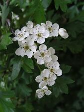 8 sizes of Hawthorn Hedging Plants Native Quickthorn hedge 10 -1000 plant packs