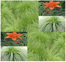 (10) NORTHERN DROPSEED Seeds Prairie ~ Excellent In Rock Gardens ~