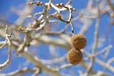 100 Platanus Occidentalis , American Planetree, Tree seeds