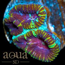 New listing Asd - 052 Toxic Devil Favia - Wysiwyg - Aqua Sd Live Coral Frag