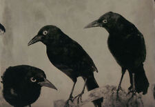 Framed Print - The Common Grackle - The Witch's Familiar (Picture Gothic Bird)
