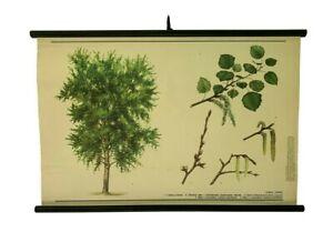 Original Vintage Poplar tree pull down, Deciduous trees Botanical school chart
