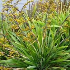 PHORMIUM cookianum Mountain Flax Green Dwarf Seeds (ES 40)