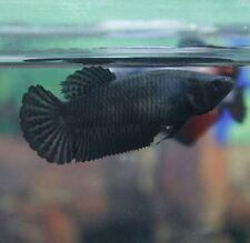 BETTA FISH SUPER BLACK HALF MOON PLAKAT(HMPK) FEMALE