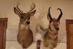 Pair Whitetail Deer Antelope Pronghorn Shoulder Mounts Taxidermy Log Cabin Decor