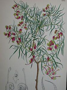 Australian antique hand coloured prints of wildflowers