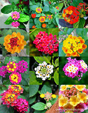 Flowering Lantana Mix @j@ Shrub Verbenas Butterfly Garden Ham And Eggs 20 seeds