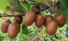 Albero kiwi 2 Anni