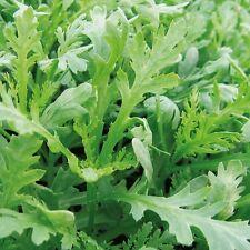 Kings Seeds - Oriental Chopsuey Greens Shungiku - 500 Seeds