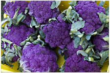 Purple Sprouting Broccoli 200 Seeds Delicious and Beautiful HEIRLOOM Broccoli