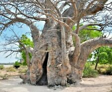 Adansonia digitata Baobab 10 semi africani scimmie albero del pane